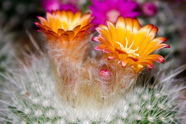 kaktus, květina