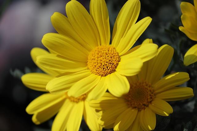 žlutý kamzičník